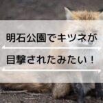 明石公園で「キツネ」が目撃されたみたい!過去にはアライグマやタヌキも