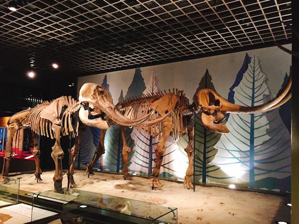 アカシゾウの骨格標本