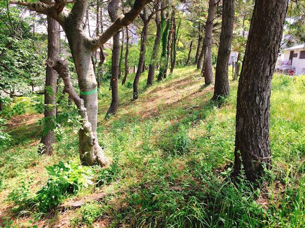 中崎遊園地の松林