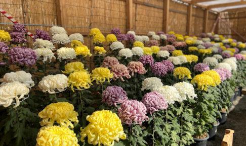 明石公園菊花展覧会