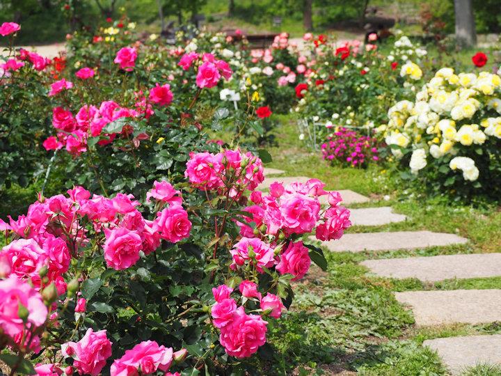 明石公園のバラ園