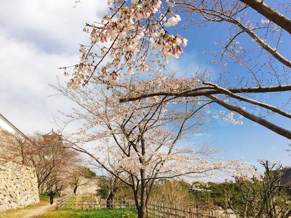 坤櫓下の桜