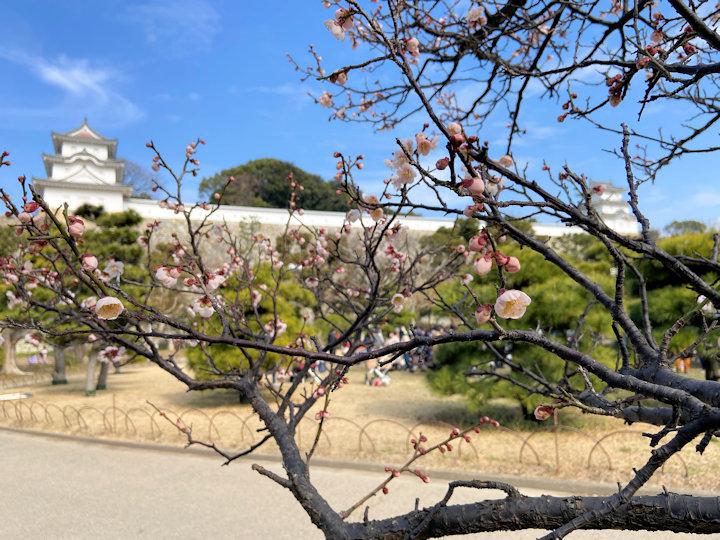 明石公園の梅が開花していました