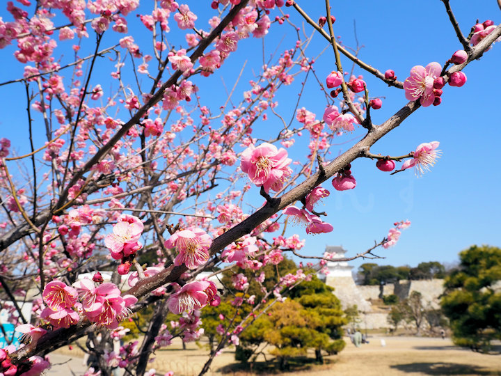 明石公園の梅が開花して見頃を迎えています!もうすぐ春がやってきますね♪