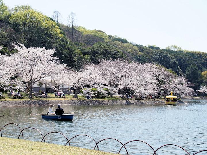 ボートから見る桜(明石公園)
