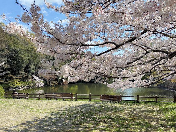 桜堀の桜(明石公園)