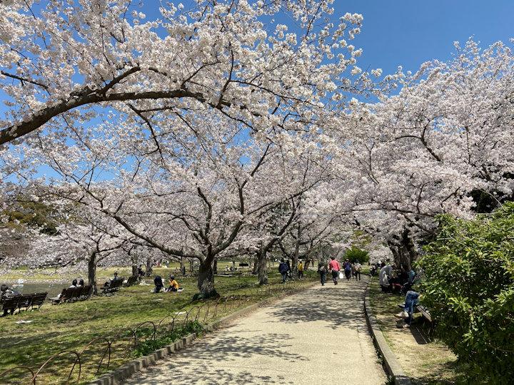 桜のトンネル(明石公園)