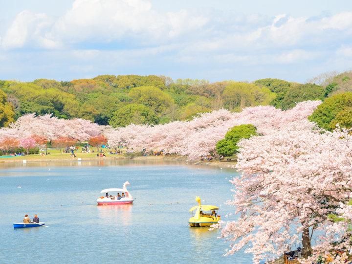 明石公園「剛ノ池」の桜