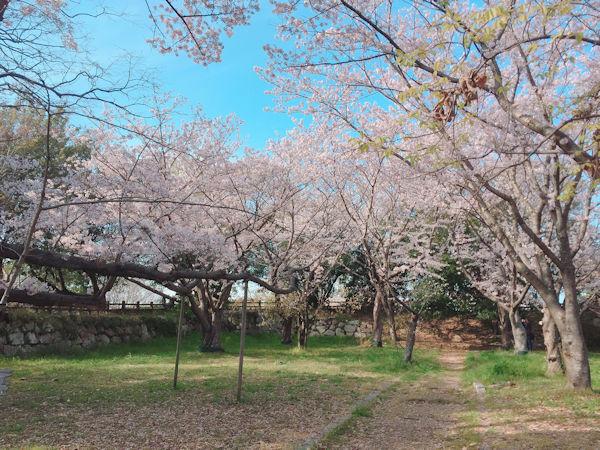 本丸周辺の桜