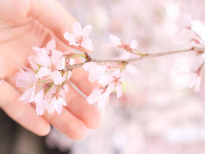 桜の花言葉は?