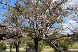 明石公園の桜開花情報