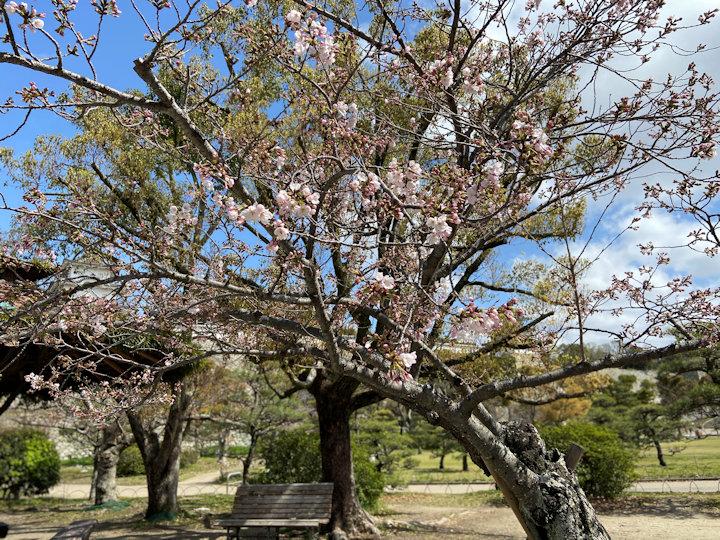 2020年3月29日の明石公園の桜開花状況
