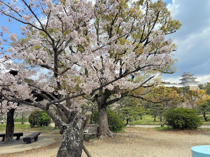 2020年4月2日の明石公園の桜開花状況