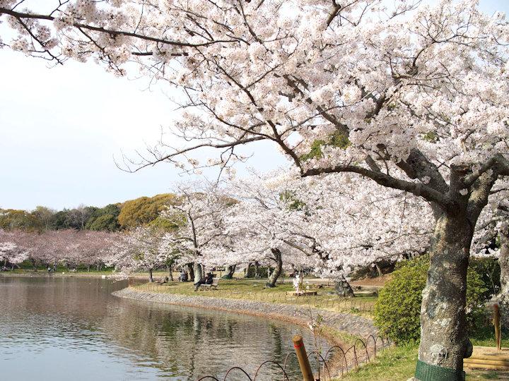 剛ノ池周辺の桜