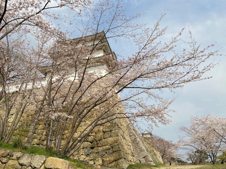 坤櫓の下の桜