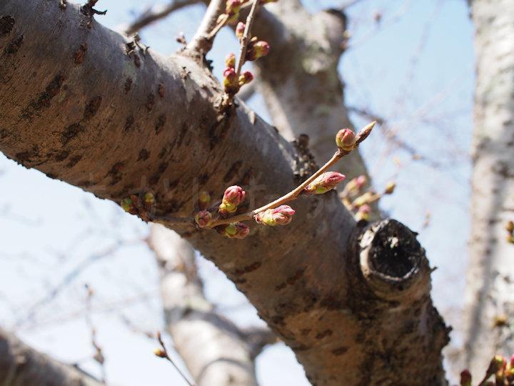 2020年3月21日の明石公園の桜開花状況
