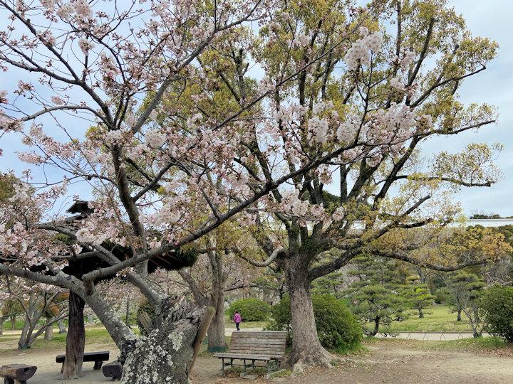明石公園・西芝生広場の桜