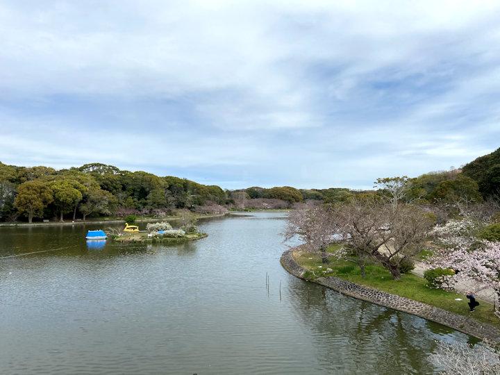 剛ノ池周辺の桜開花状況