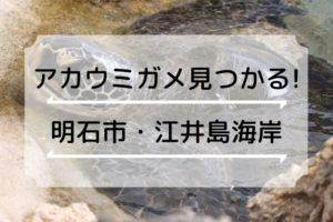 江井島海岸でアカウミガメが見つかる