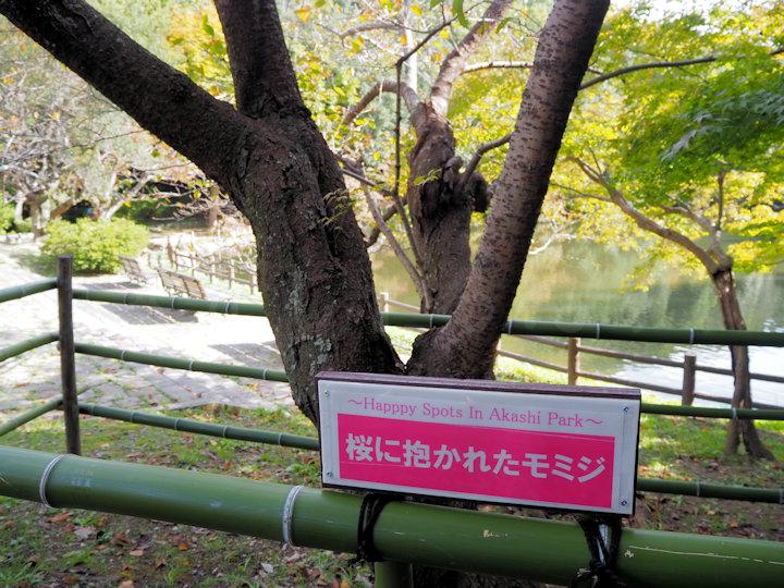 桜に抱かれたモミジの場所