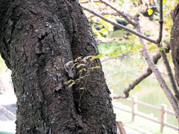 桜に抱かれたモミジ